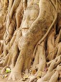 Head of Buddha under tree, Ayutthaya — Stockfoto