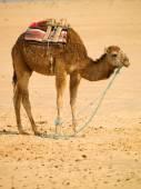 Wielbłąd w pustyni — Zdjęcie stockowe