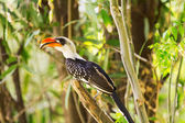 Hornbill at Baringo Lake — Stock Photo