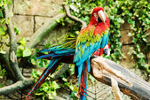 Colorful couple macaws sitting on log, focus on the parrot — Stock Photo