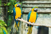 One blue-and-yellow macaw (ara ararauna) sitting on a branch, fo — Stock Photo