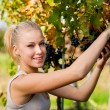 Beautiful young blonde woamn harvesting grapes in vineyard — Stock Photo #56475751