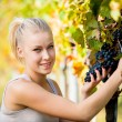 Beautiful young blonde woamn harvesting grapes in vineyard — Stock Photo #56475857
