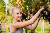 Beautiful young blonde woamn harvesting grapes in vineyard — Stock Photo