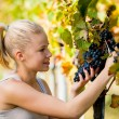 Beautiful young blonde woamn harvesting grapes in vineyard — Stock Photo #69415465