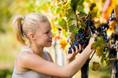 Beautiful young blonde woamn harvesting grapes in vineyard — Stock Photo