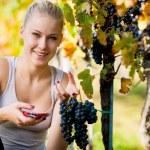 Beautiful young blonde woamn harvesting grapes in vineyard — Stock Photo #72860053