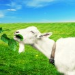 White goat on a meadow — Stock Photo #52611977