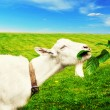 White goat on a meadow — Stock Photo #52611985