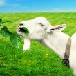 White goat on a meadow — Stock Photo #52681145
