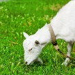 Goat grazed on a meadow and eating — Stock Photo #52683601