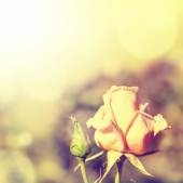 Defocus blur background with rose. — Stock Photo