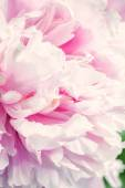 Defocus beautiful pink flowers. — Stock Photo