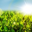Field of new spring green grass — Stock Photo #62451215