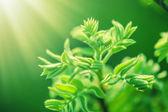 Verse nieuwe groene bladeren gloeien in zonlicht — Stockfoto