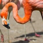 The pink Caribbean flamingo ( Phoenicopterus ruber ruber ) goes on water. Pink flamingo goes on a swamp. — Stock Photo #52550873