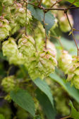 Branch of hops. Cones with sunbeams. Green leaves. — Stock Photo