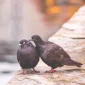 Two pigeons on a wood post show affection towards each other — Stock Photo