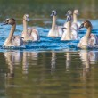 Tranquil Scene of a Swan Family Swimming on a Lake at autumn time. — Stock Photo #56146869