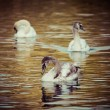Tranquil Scene of a Swan Family Swimming on a Lake at autumn time. — Stock Photo #56146997