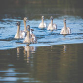 Tranquil Scene of a Swan Family Swimming on a Lake at autumn time. — Stock Photo