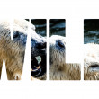 Word WILD Polar bears fighting — Stock fotografie #56810629