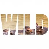 Word WILD African hippo in their natural habitat. — Stock Photo