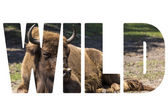 Word WILD Bison - animals that live in nature reserves in Europe — Stock Photo