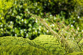 Unravelling fern frond closeup, one of New Zealand symbols — Stock Photo