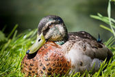 Male mallard duck (Anas platyrhynchos) — Stock Photo