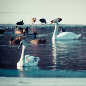 Mute Swan in the natural winter environment. — Stock Photo