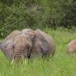 Mother and baby african elephants walking in savannah in the Tar — Stock Photo #63484777