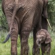 Mother and baby african elephants walking in savannah in the Tar — Stock Photo #63484779