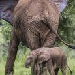 Mother and baby african elephants walking in savannah in the Tar — Stock Photo #63484811