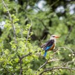Woodland kingfisher in Lake Manyara national park, Tanzania — Stock Photo #63485139