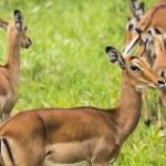 Female impala antelopes in Maasai Mara National Reserve, Kenya. — Stock Photo #63485333