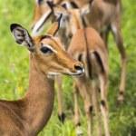 Female impala antelopes in Maasai Mara National Reserve, Kenya. — Stock Photo #63485341