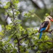 Woodland kingfisher in Lake Manyara national park, Tanzania — Stock Photo #63485557