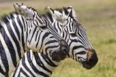 Zebra in the grass, Masai Mara, Kenya — Stock Photo