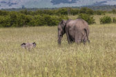 Wild elephant in Maasai Mara National Reserve, Kenya. — Stock Photo