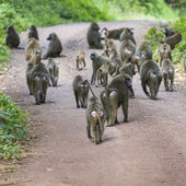 Group of Baboon monkeys in African bush. Lake Manyara National P — Stock Photo