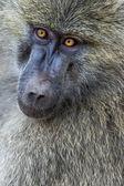 Head view of Anubus baboon in Tarangire National Park, Tanzania — Stock Photo