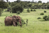 Huge African elephant bull in the Tarangire National Park, Tanza — Stock Photo