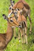 Female impala antelopes in Maasai Mara National Reserve, Kenya. — Stock Photo