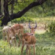 A herd of male impala, Aepyceros melampus, standing in the veget — Stock Photo #63570855