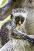 Endangered Zanzibar red colobus monkey (Procolobus kirkii), Joza — Stockfoto