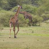 Giraffe on safari wild drive, Kenya. — Foto de Stock