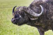 African buffalo (Syncerus caffer) on the grass. The photo was ta — Stock Photo