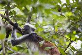 Endangered Zanzibar red colobus monkey (Procolobus kirkii), Joza — Zdjęcie stockowe