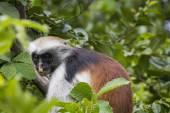 Singe de colobus rouge de Zanzibar (Procolobus kirkii), en voie de disparition Joza — Photo